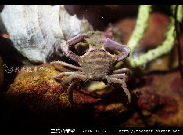 三葉角菱蟹 Ceratocarcinus trilobatu_02.jpg