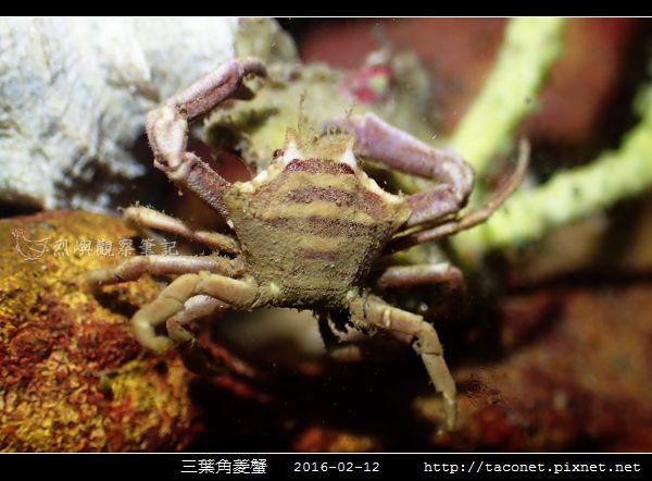 三葉角菱蟹 Ceratocarcinus trilobatu_03.jpg