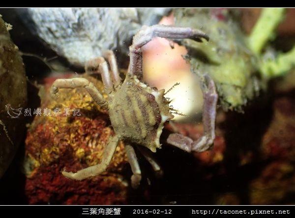 三葉角菱蟹 Ceratocarcinus trilobatu_04.jpg