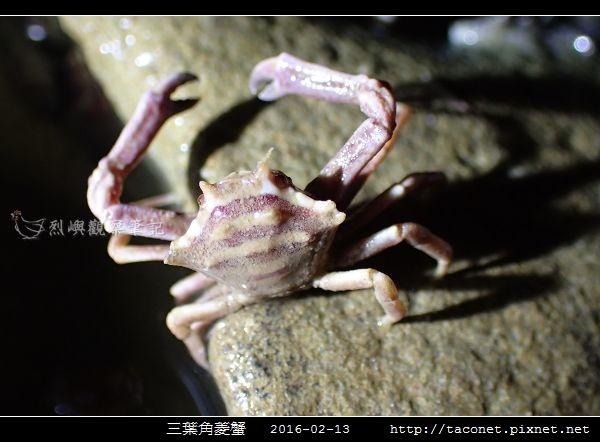 三葉角菱蟹 Ceratocarcinus trilobatu_06.jpg