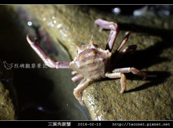 三葉角菱蟹 Ceratocarcinus trilobatu_05.jpg