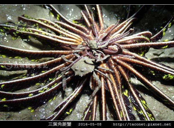 三葉角菱蟹 Ceratocarcinus trilobatu_08.jpg