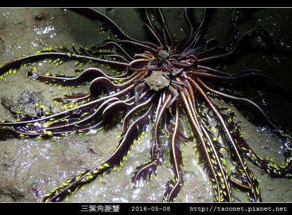 三葉角菱蟹 Ceratocarcinus trilobatu_09.jpg