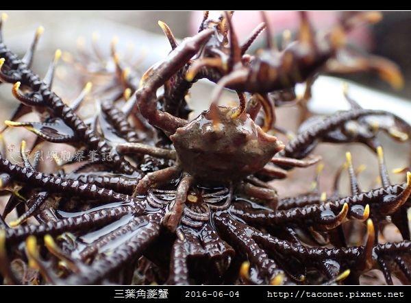 三葉角菱蟹 Ceratocarcinus trilobatu_10.jpg