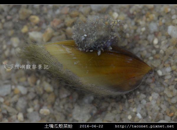 土嘴瓜殼菜蛤 Modiolus metcalfei_02.jpg