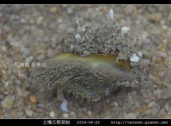 土嘴瓜殼菜蛤 Modiolus metcalfei_01.jpg