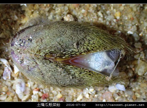 土嘴瓜殼菜蛤 Modiolus metcalfei_04.jpg