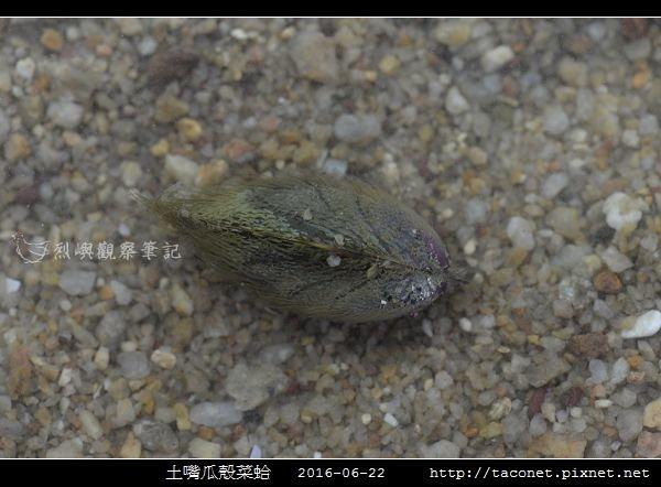 土嘴瓜殼菜蛤 Modiolus metcalfei_03.jpg