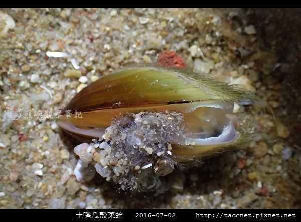 土嘴瓜殼菜蛤 Modiolus metcalfei_06.jpg