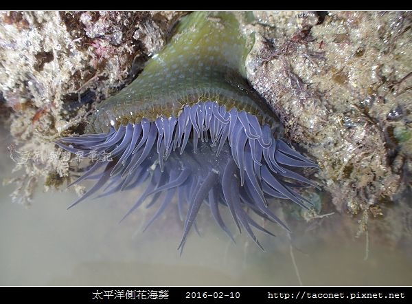 太平洋側花海葵 Anthopleura pacifica_01.jpg