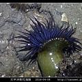 太平洋側花海葵 Anthopleura pacifica_08.jpg
