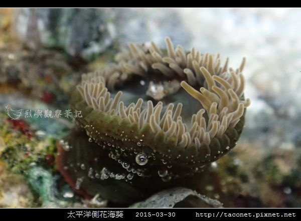 太平洋側花海葵 Anthopleura pacifica_07.jpg
