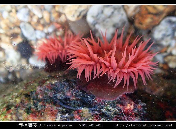 等指海葵 Actinia equina_01.jpg
