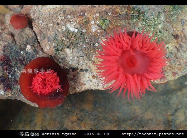 等指海葵 Actinia equina_07.jpg