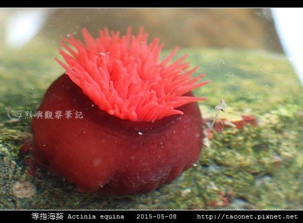 等指海葵 Actinia equina_05.jpg