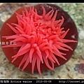 等指海葵 Actinia equina_06.jpg