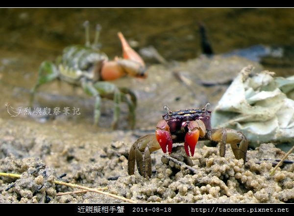 近親擬相手蟹_10.jpg