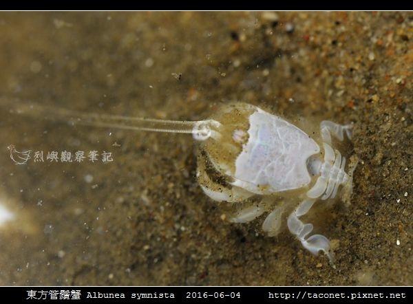東方管鬚蟹Albunea symnista_02.jpg