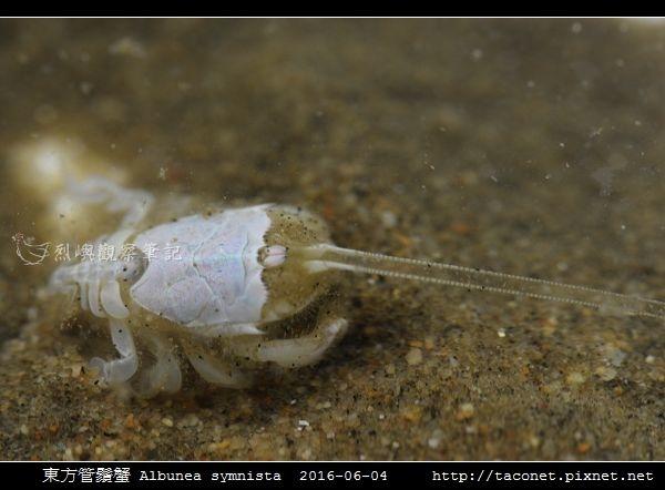東方管鬚蟹Albunea symnista_04.jpg