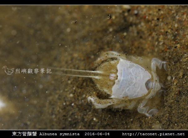東方管鬚蟹Albunea symnista_03.jpg