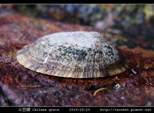 斗笠螺 Cellana grata_04.jpg