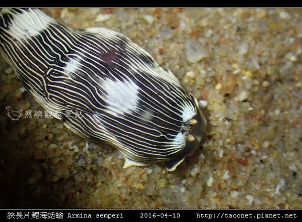 狹長片鰓海蛞蝓 Armina semperi _04.jpg