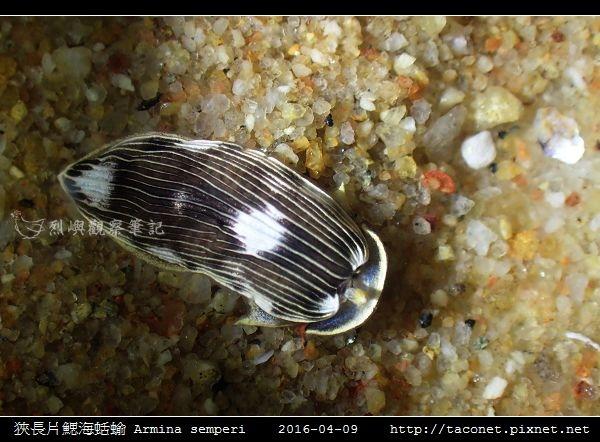 狹長片鰓海蛞蝓 Armina semperi _03.jpg