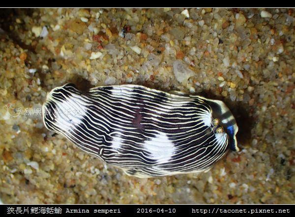 狹長片鰓海蛞蝓 Armina semperi _05.jpg