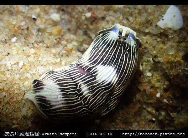 狹長片鰓海蛞蝓 Armina semperi _06.jpg