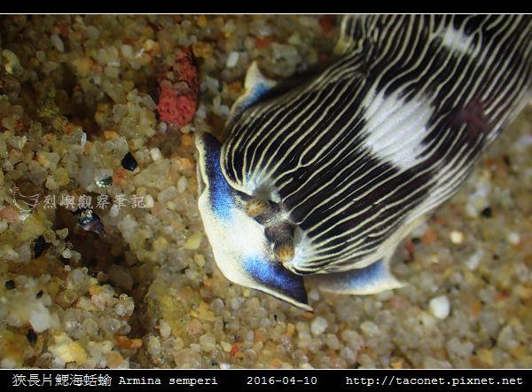 狹長片鰓海蛞蝓 Armina semperi _08.jpg