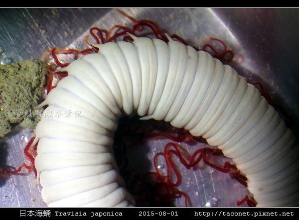 日本海蛹 Travisia japonica_07.jpg
