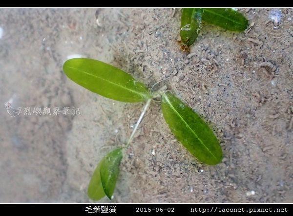 毛葉鹽藻 Halophila decipiens _06.jpg