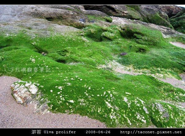 滸苔 Ulva prolifer_05.jpg
