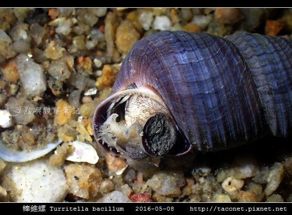 棒錐螺 Turritella bacillum_02.jpg