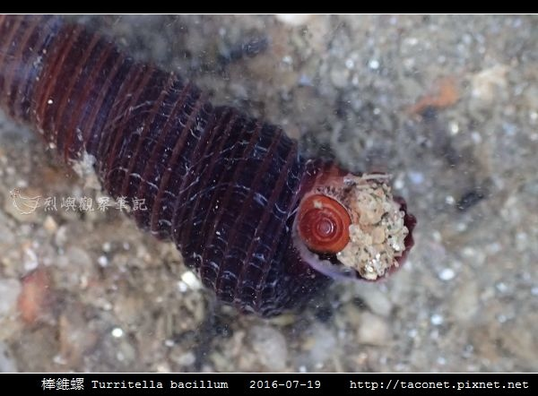 棒錐螺 Turritella bacillum_04.jpg