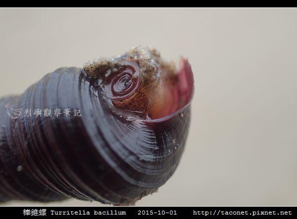 棒錐螺 Turritella bacillum_06.jpg