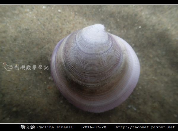環文蛤 Cyclina sinensi_01.jpg