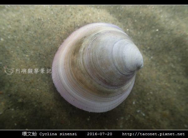環文蛤 Cyclina sinensi_02.jpg