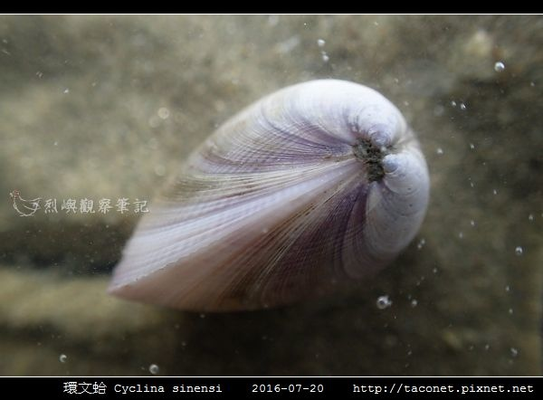 環文蛤 Cyclina sinensi_03.jpg