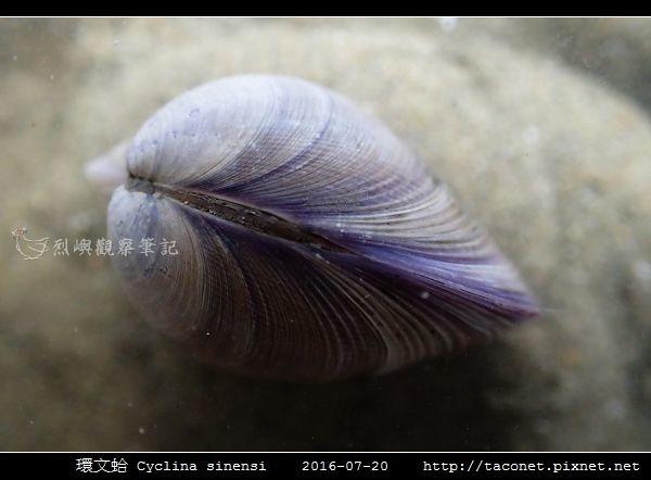 環文蛤 Cyclina sinensi_05.jpg