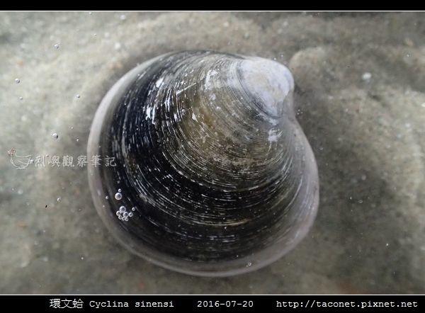 環文蛤 Cyclina sinensi_06.jpg