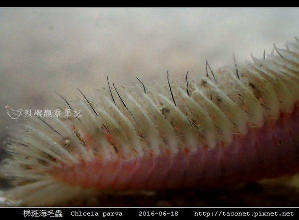 梯斑海毛蟲 Chloeia parva_04.jpg
