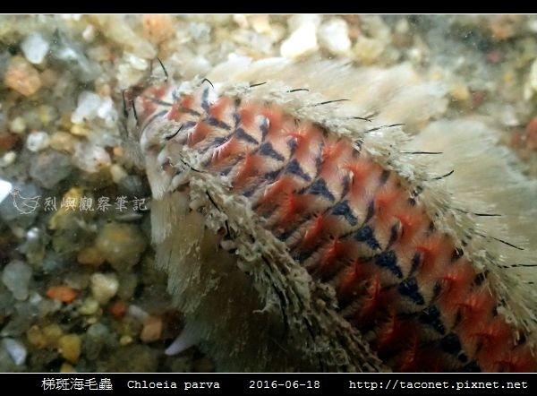 梯斑海毛蟲 Chloeia parva_06.jpg