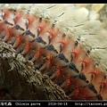 梯斑海毛蟲 Chloeia parva_08.jpg