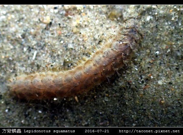 方背鱗蟲 Lepidonotus squamatus_07.jpg