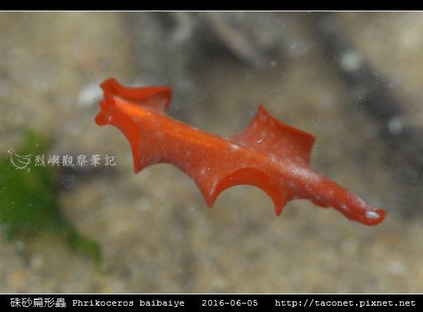硃砂扁形蟲 Phrikoceros baibaiye_04.jpg