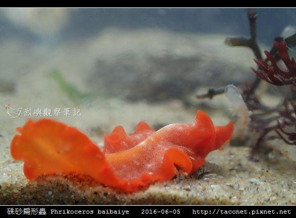硃砂扁形蟲 Phrikoceros baibaiye_08.jpg