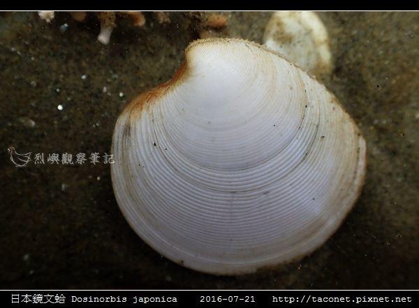 日本鏡文蛤 Dosinorbis japonica_03.jpg