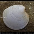 日本鏡文蛤 Dosinorbis japonica_08.jpg
