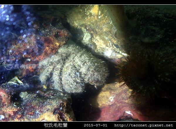 牧氏毛粒蟹 Pilumnopeus makiana_01.jpg